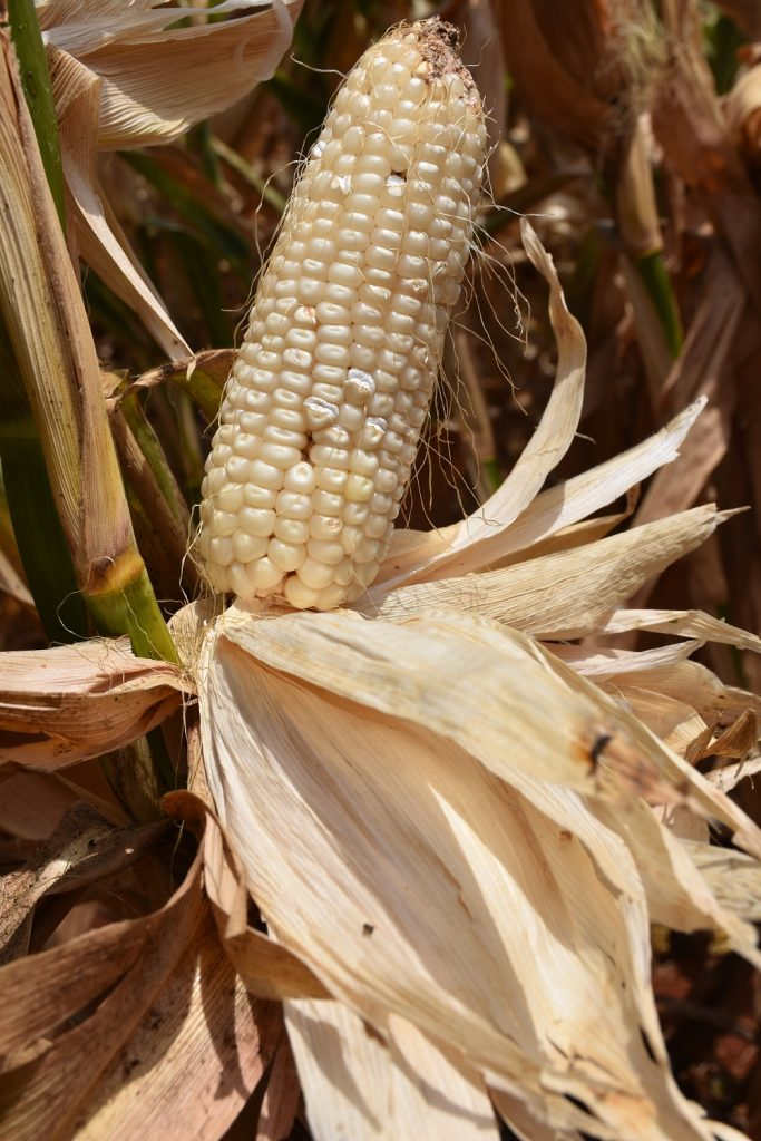 Entry 42 DT maize cob in Kiboko