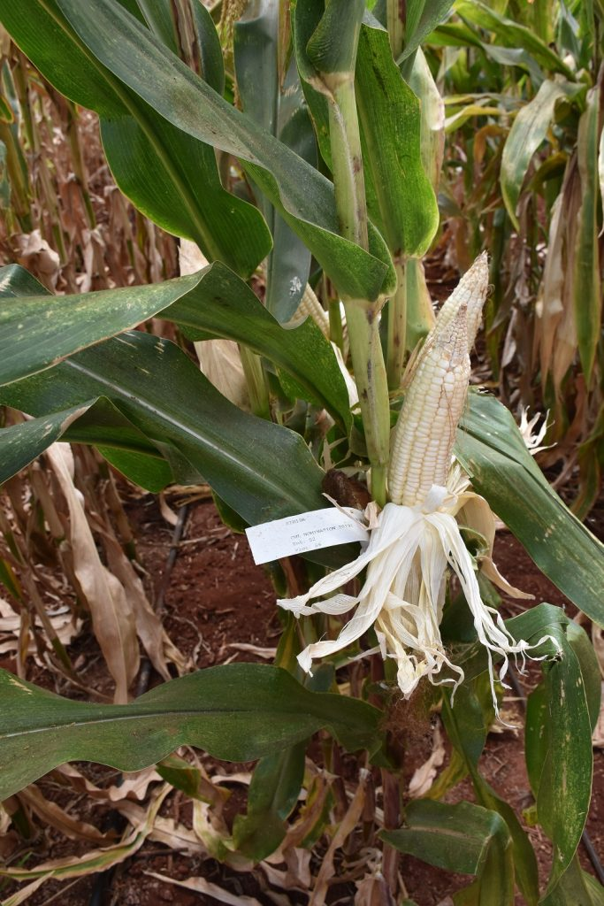 Stay green entry 52 DT maize in Kiboko