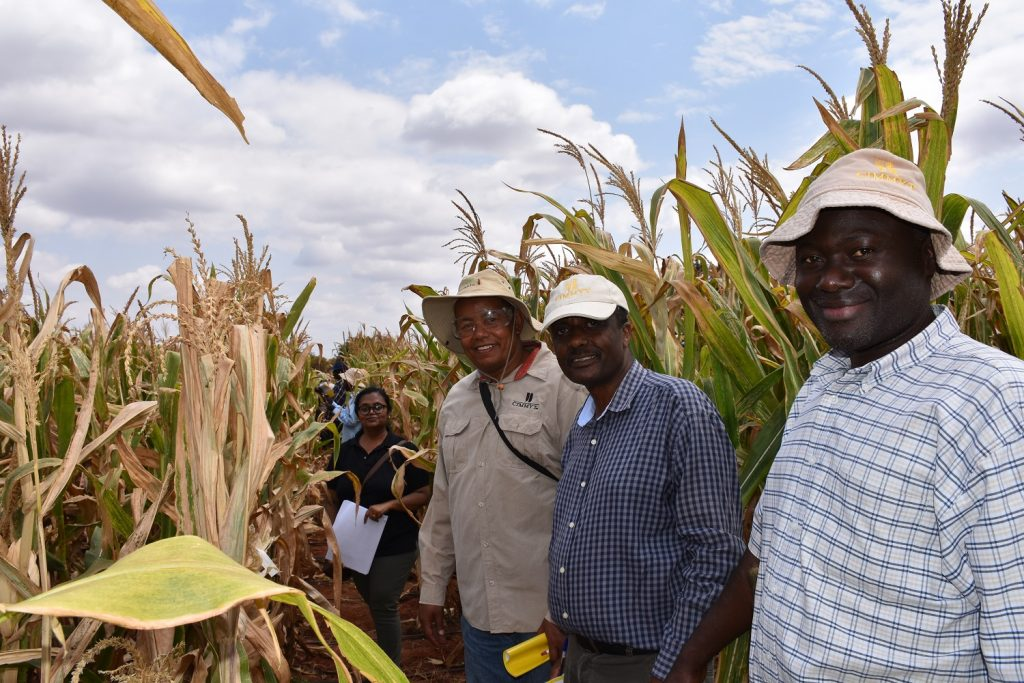 CIMMYT breeders scoring DT maize in Kiboko 5 September 2019