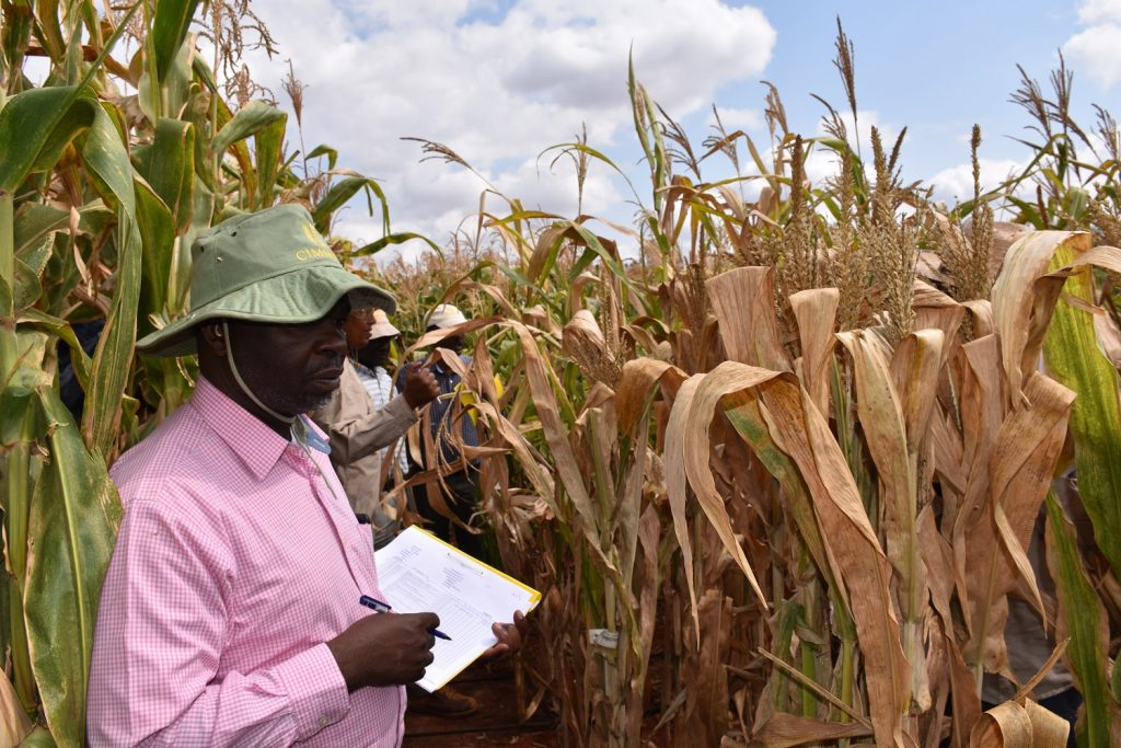 CIMMYT breeder scoring DT maize in Kiboko