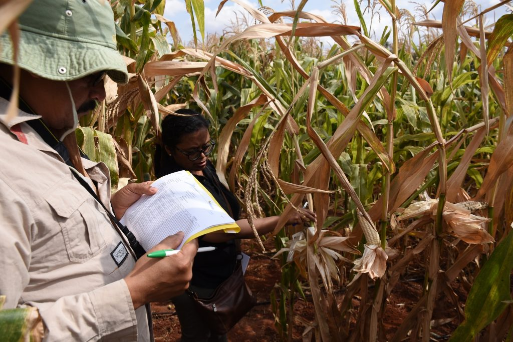 Suresh and Aparna ranking DT maize entries in Kiboko 5 Sept 2019