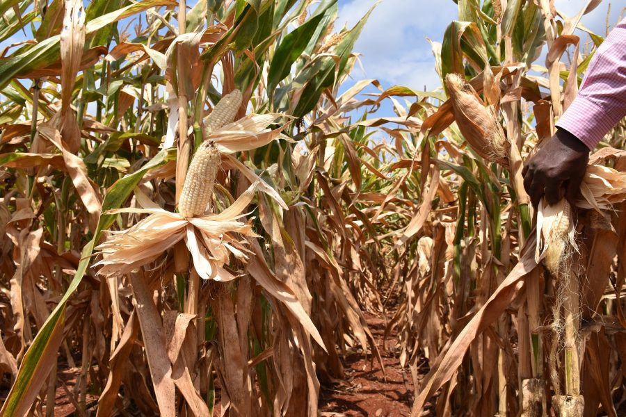 Multi-Site Bundling of Drought Tolerant Maize Varieties and Index Insurance