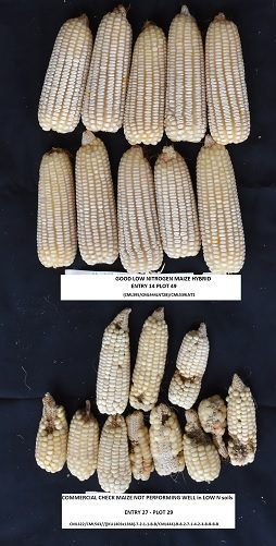 Identification of donors for low-nitrogen stress with maize lethal necrosis (MLN) tolerance for maize breeding in sub- Saharan Africa