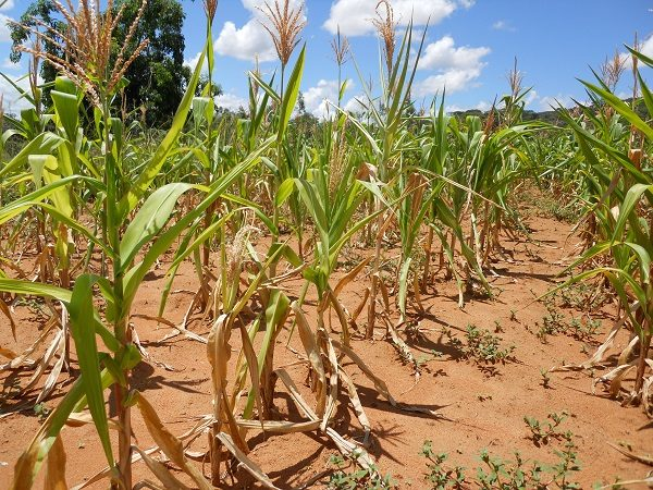 Adoption of Drought Tolerant Maize Varieties under Rainfall Stress in Malawi